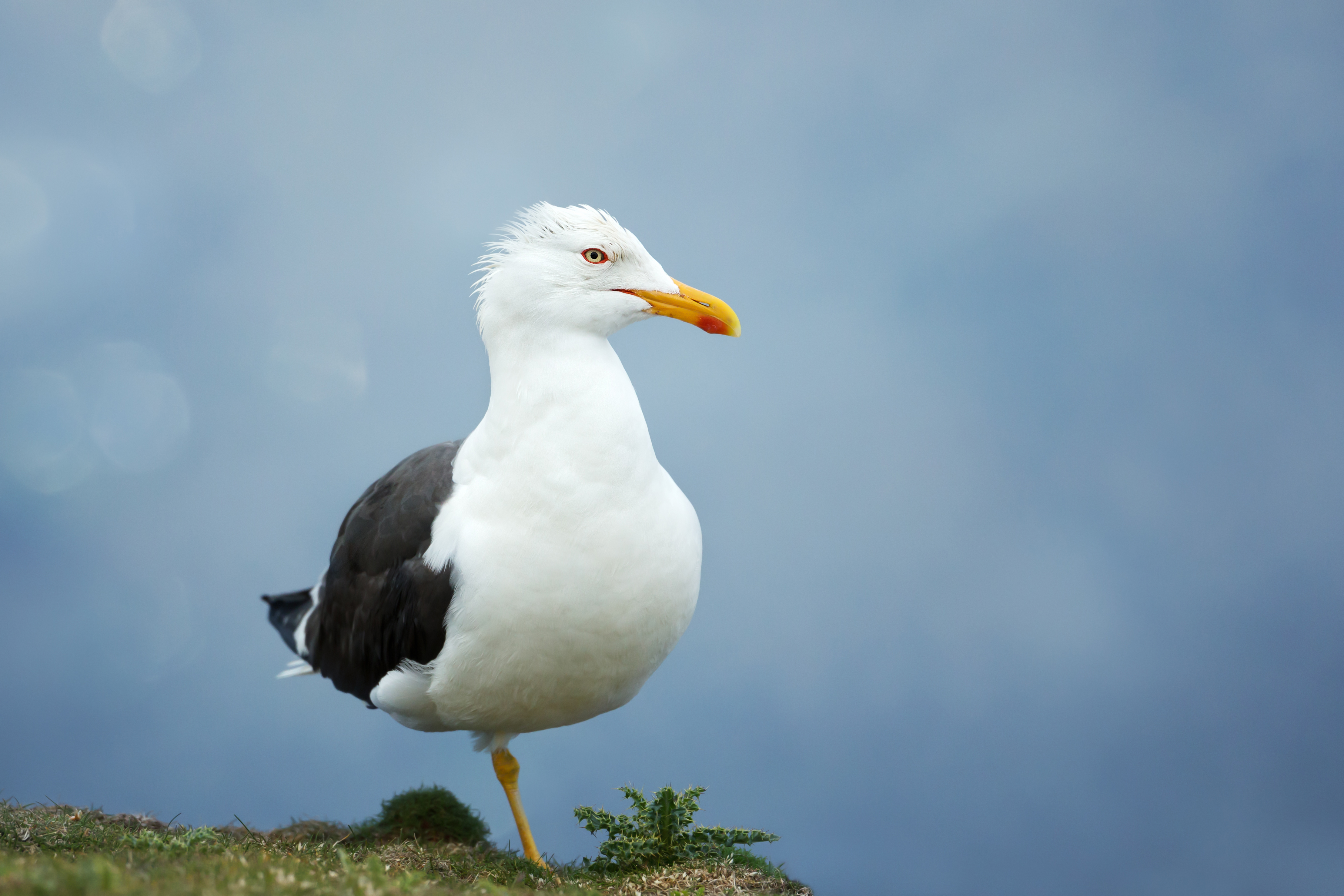 Close up of a great black backed gull against blue background, UK.