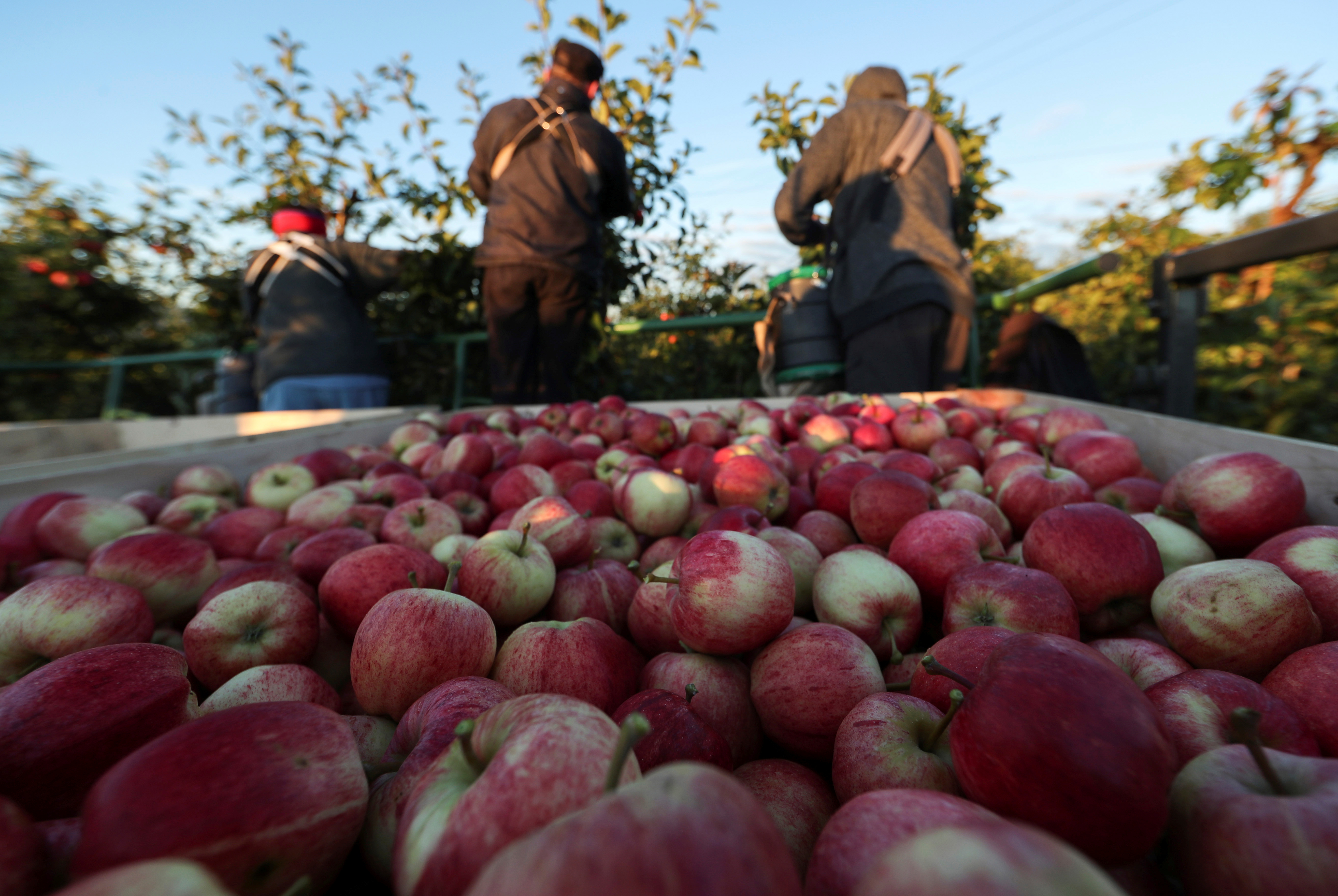 Migrant workers pick apples at Stocks Farm in Suckley, Britain October 10, 2016. Picture taken October 10, 2016.  To match Insight BRITAIN-EU/MIGRANT-WORKERS REUTERS/Eddie Keogh