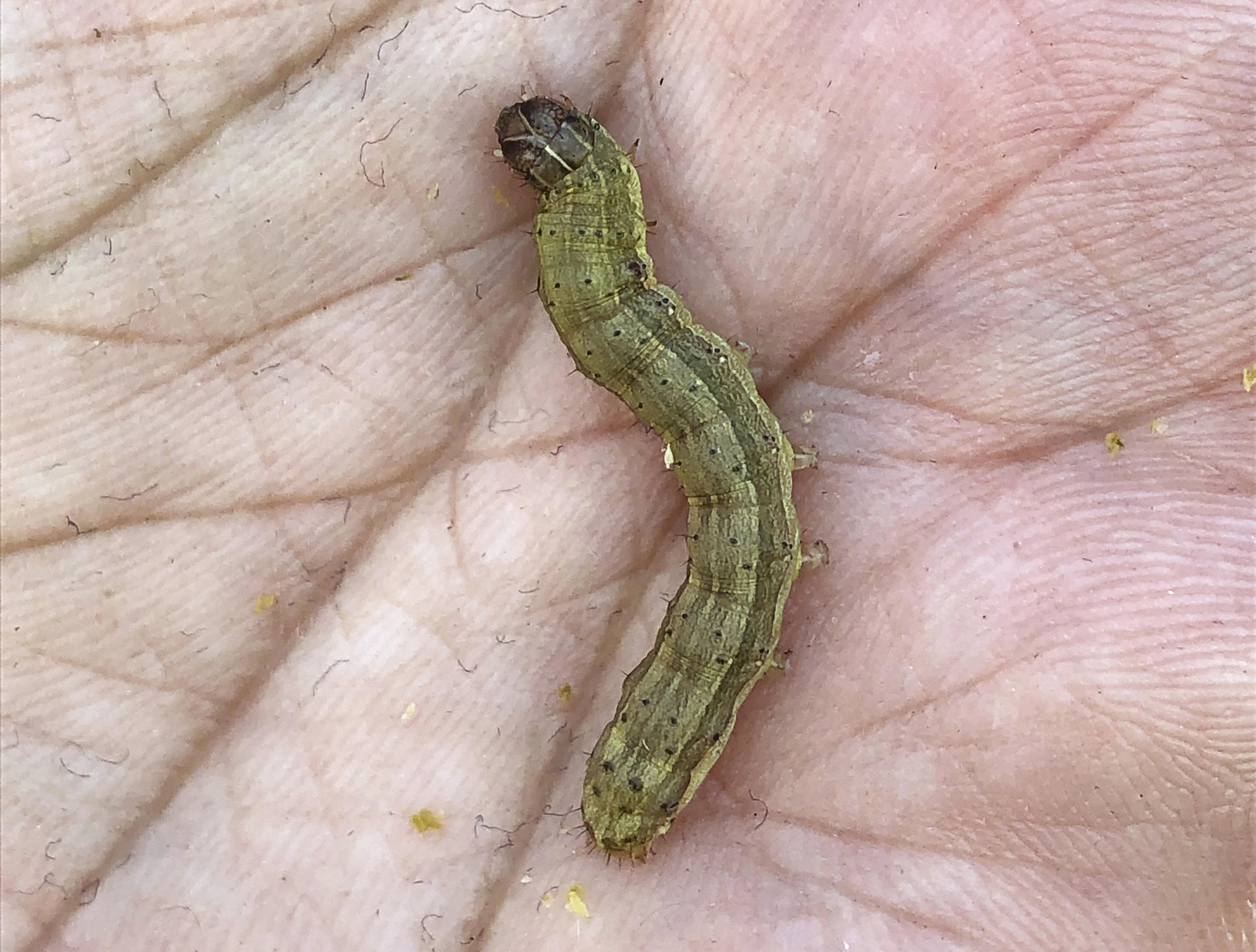 秋行軍蟲來了 你知道嗎?