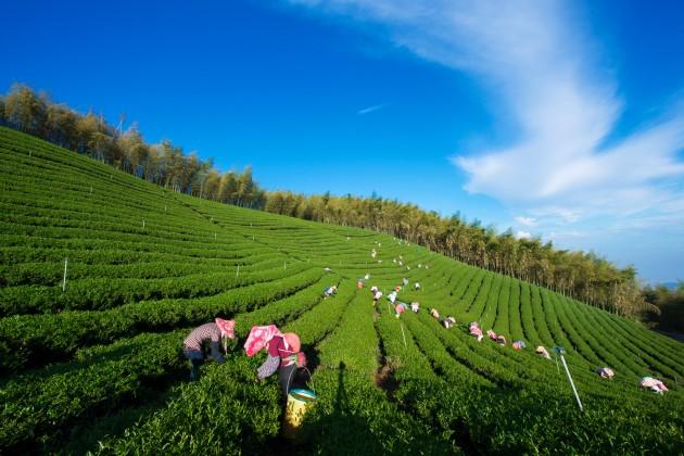 採茶季,名間鄉的工人們穿梭阡陌之間。在這個南投縣茶產量最大的茶區,每10個人就有7個工作與茶有關。 圖片來源:南投縣政府提供