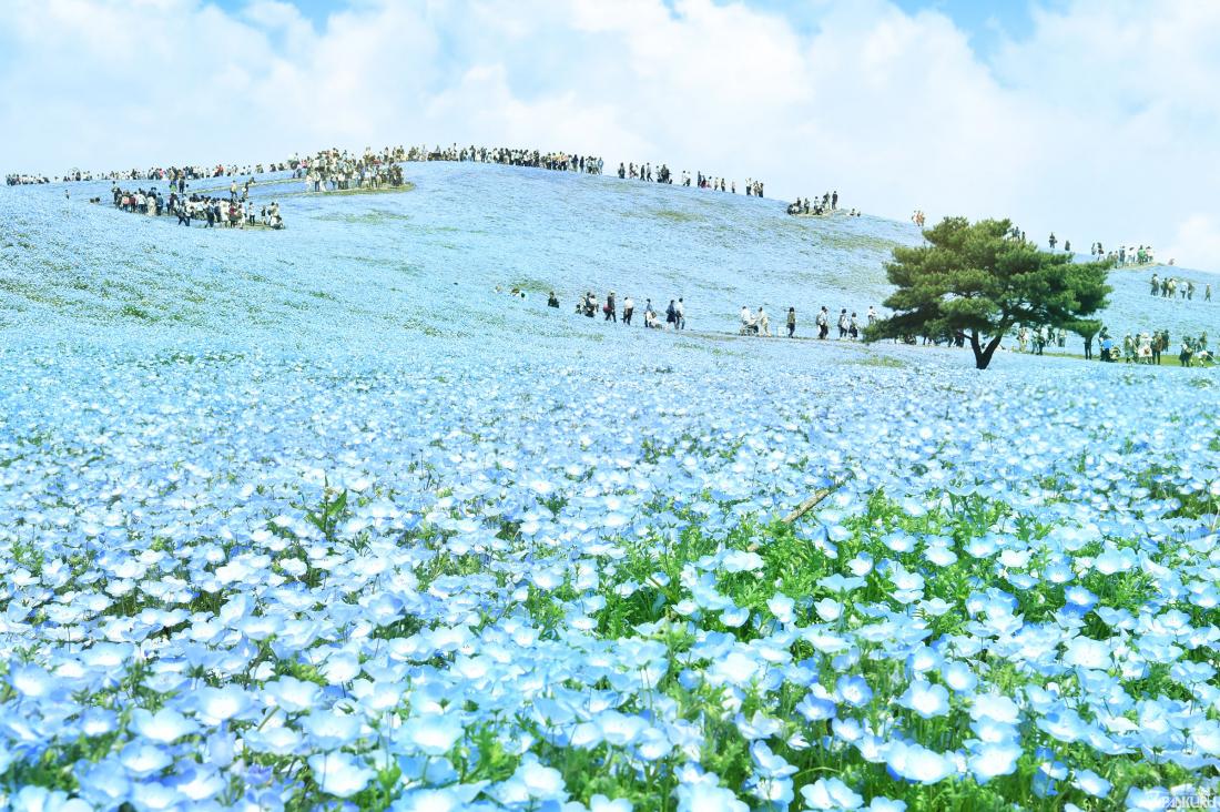 國營日立海濱公園的粉蝶花