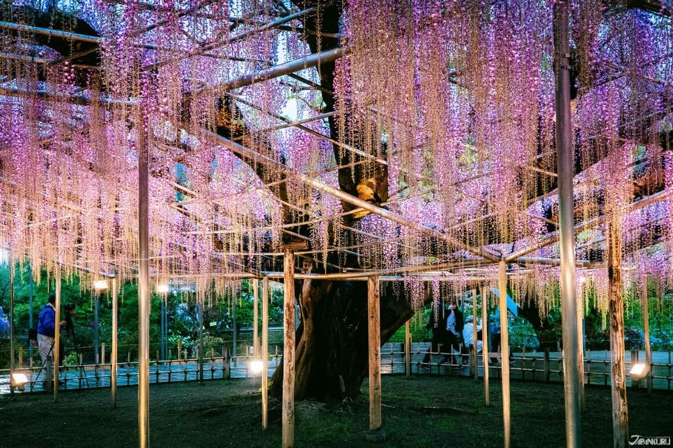 足利花卉公園的大藤點燈