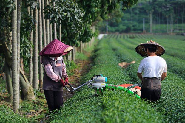 在南投的主要茶區如名間、仁愛、信義鄉,在地人10個有7個工作與茶有關,除了做茶農,茶具、茶藝、茶商也大有人在。(王建棟攝)