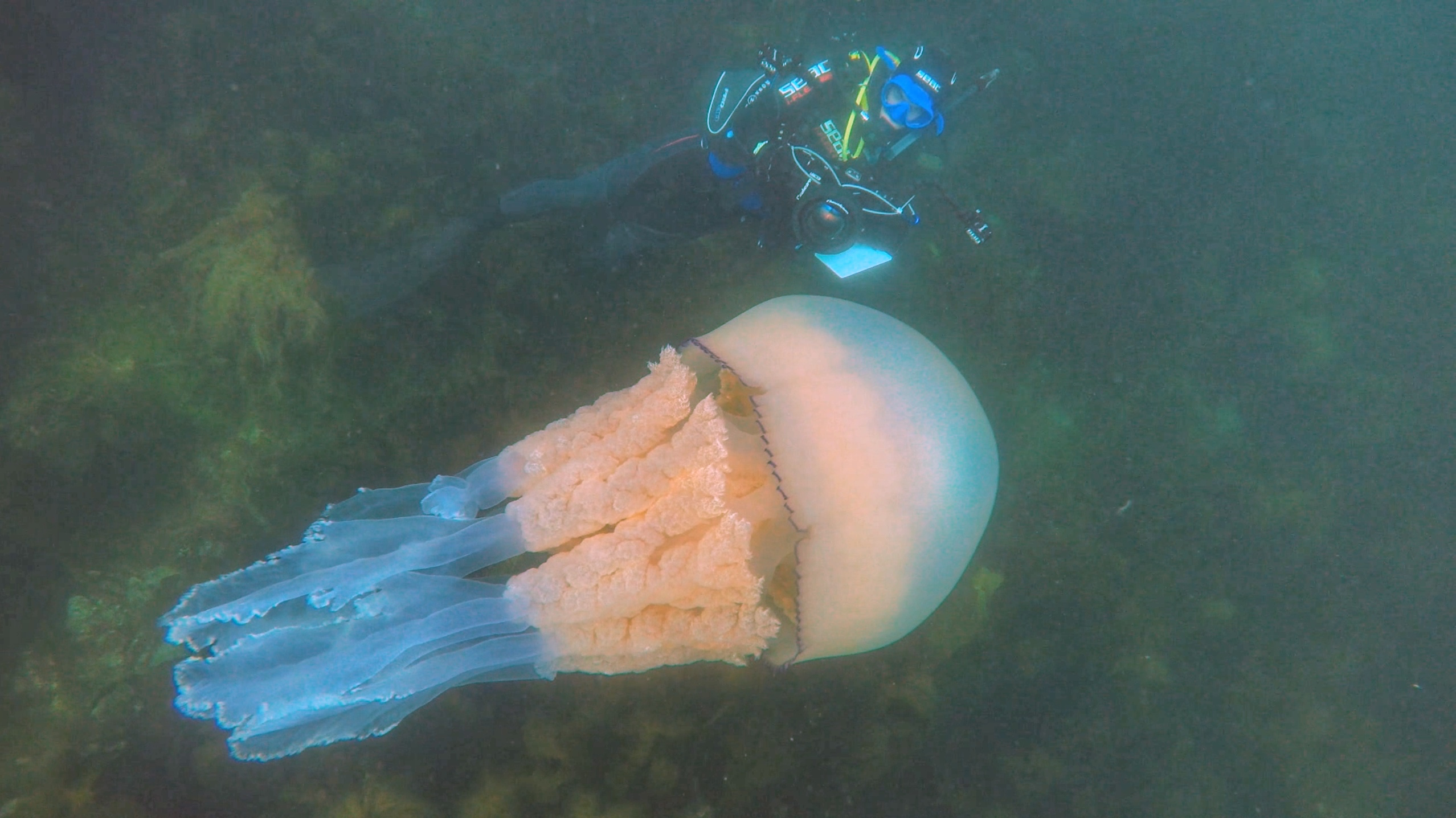 The jellyfish was as big as a person (Diver: Lizzie Daly/Picture: Dan Abbott)