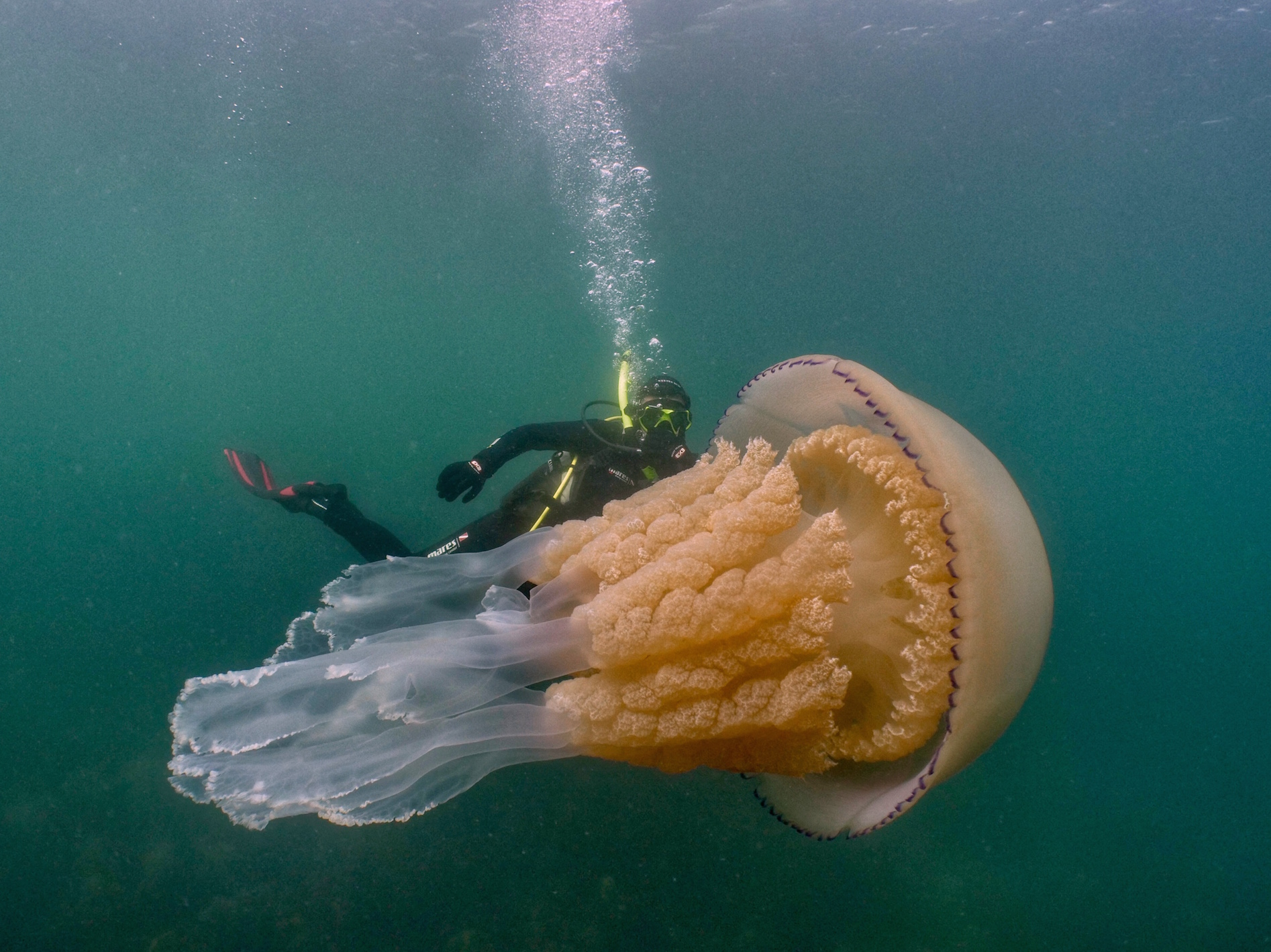 The huge jellyfish was found off the coast of Cornwall (Diver: Lizzie Daly/Picture: Dan Abbott)