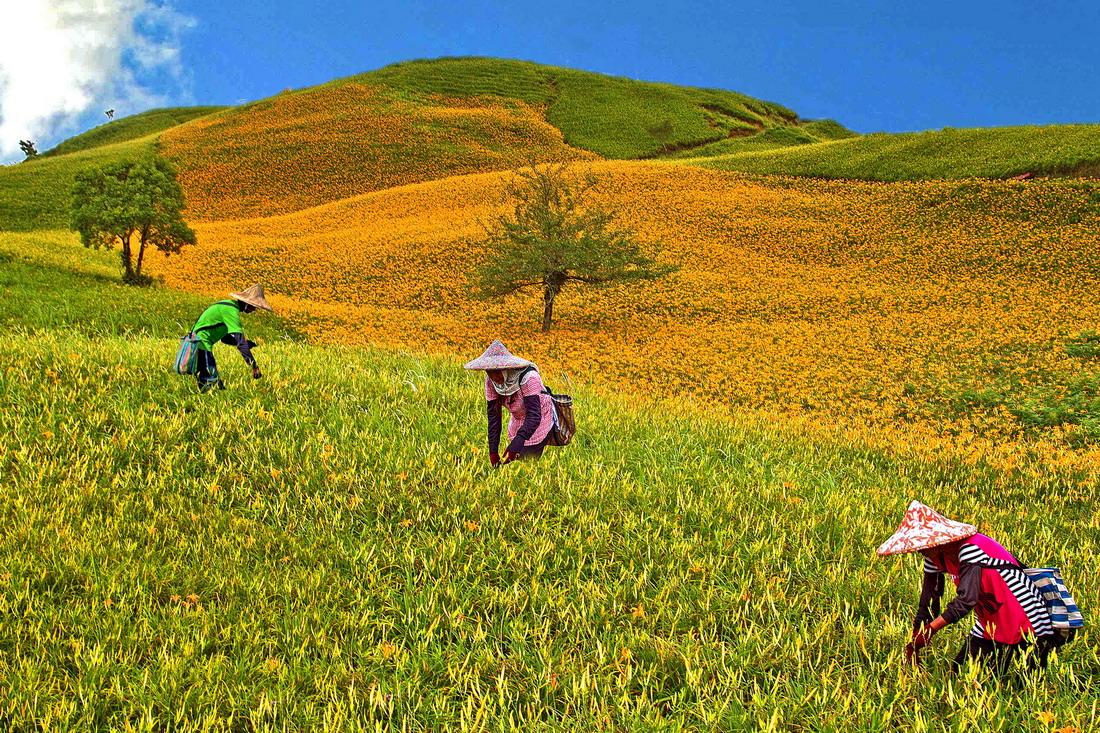 ▲清晨上山,就有機會看到農人採金針的畫面。花蓮縣政府提供