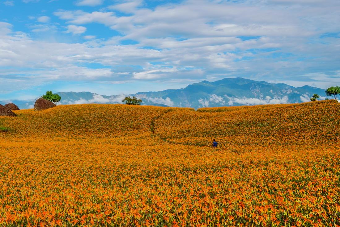 ▲撲天蓋地的金針花海,是東台灣最美的花毯。花蓮縣政府提供