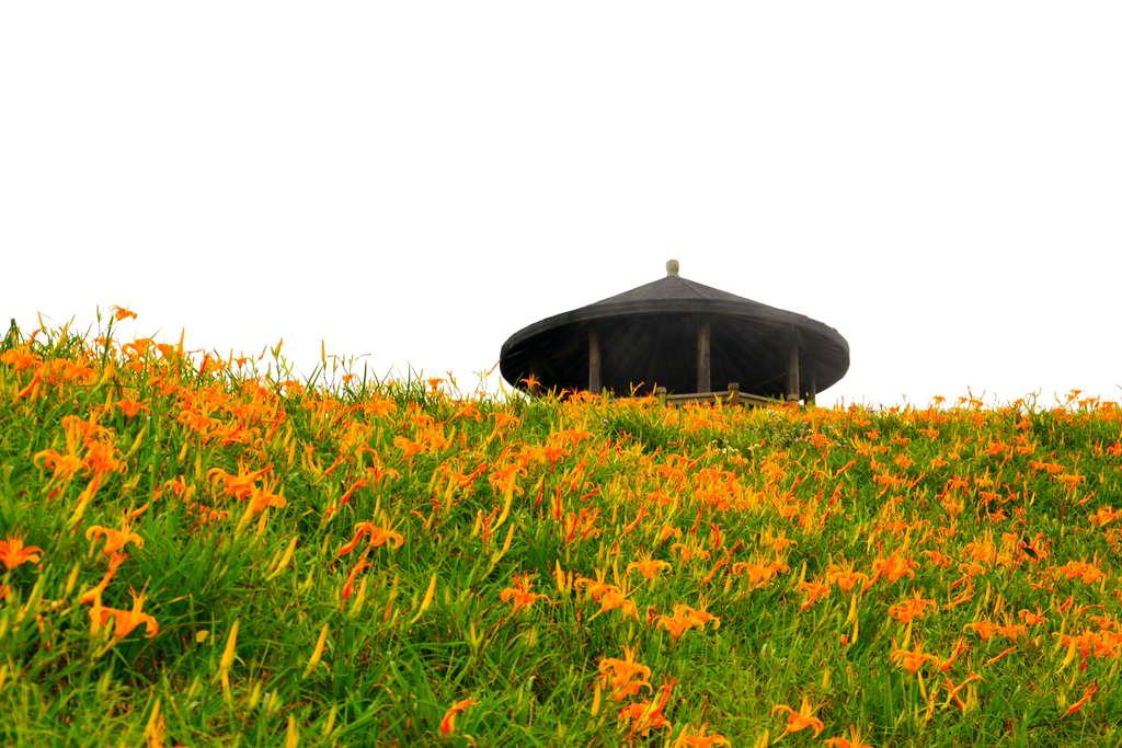 滿山滿谷的金針花 (圖片來源:台東觀光旅遊網)