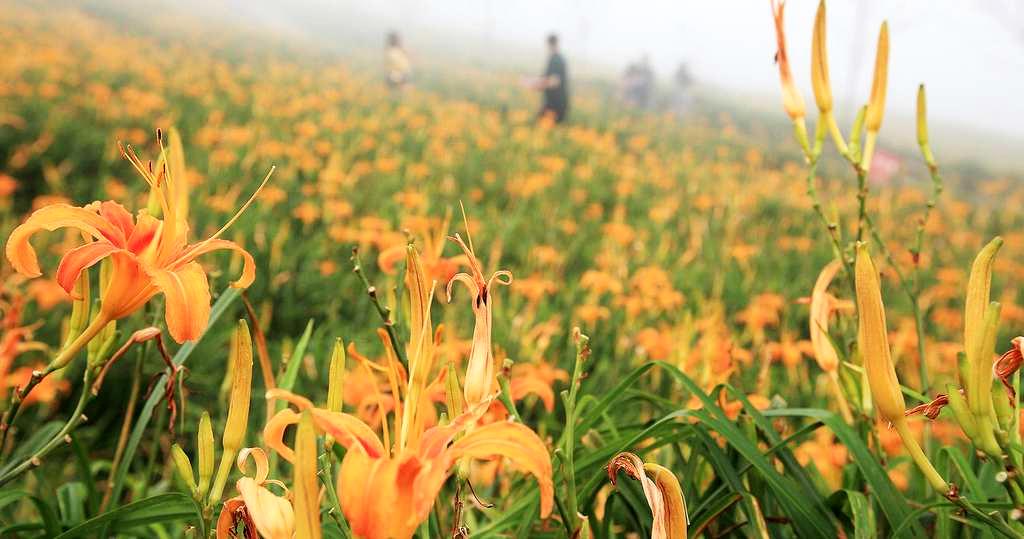 彷彿黃金鋪成的地毯 (圖片來源:台東觀光旅遊網)