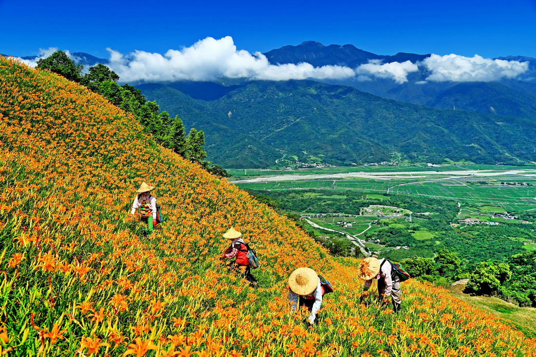 ▲金針花的經濟價值在於未開花的花苞,農民多於清晨採摘。花蓮縣政府提供