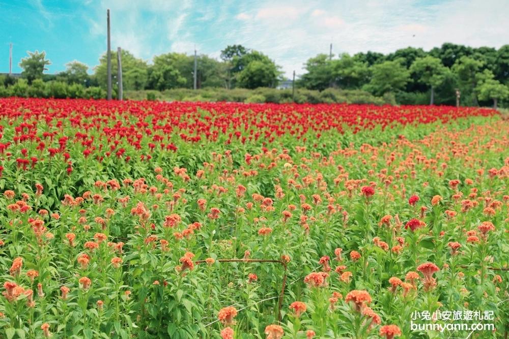 溪州雞冠花