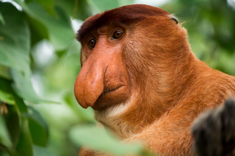 圖/尋覓頻臨絕種的長鼻猴,開啟探險之旅