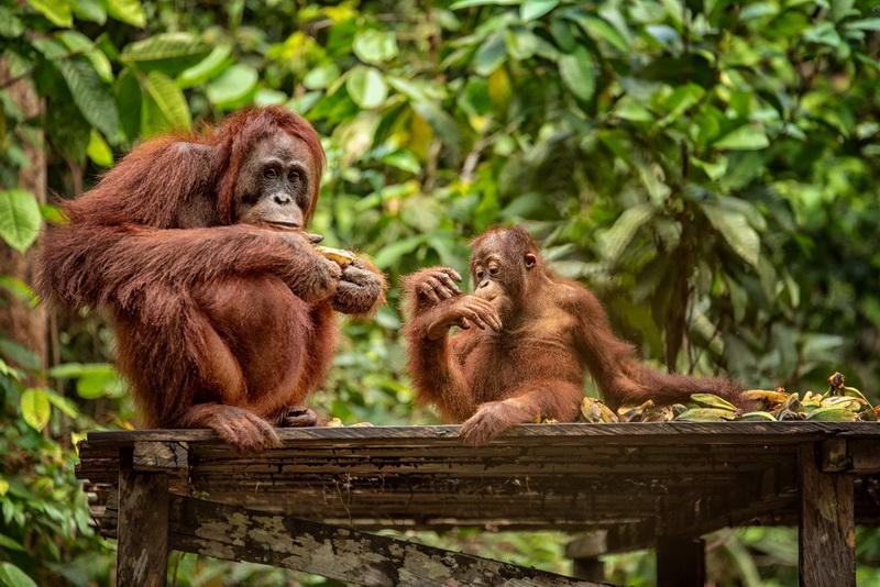 圖/瀕臨絕種的紅毛猩猩是中加里曼丹雨林的看點之一。