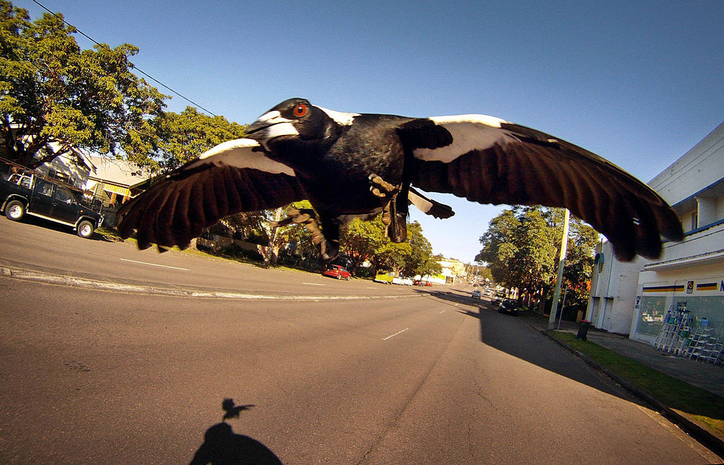 A magpie swoops to attack a cyclist