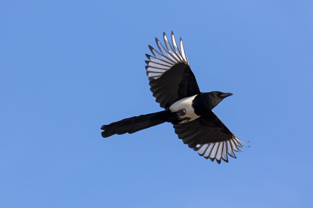 Magpies are a protected native species in Australia