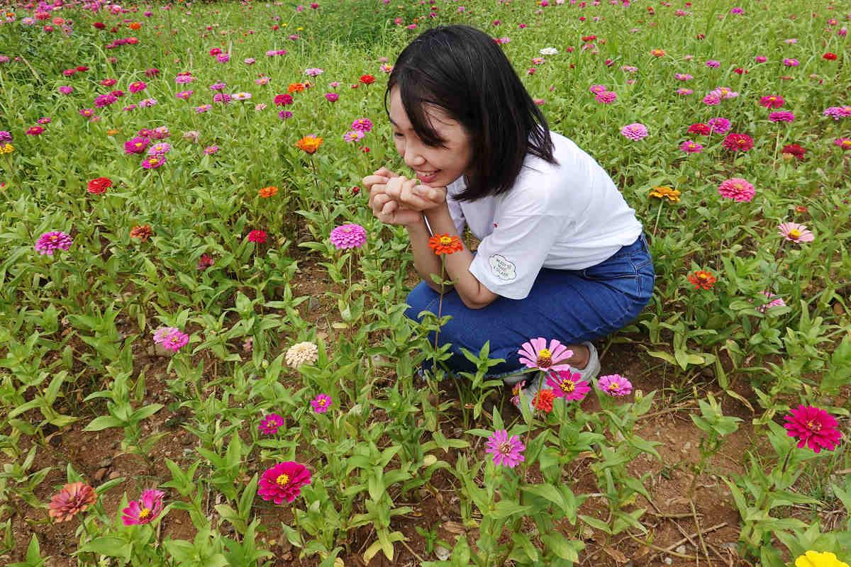 小巧玲瓏、顏色多變的百日草(圖片來源:新北市政府)