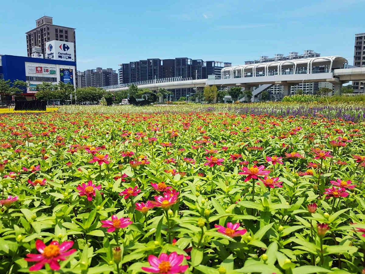 盛開的百日草,配上淡海輕軌軌道(圖片來源:新北市政府)