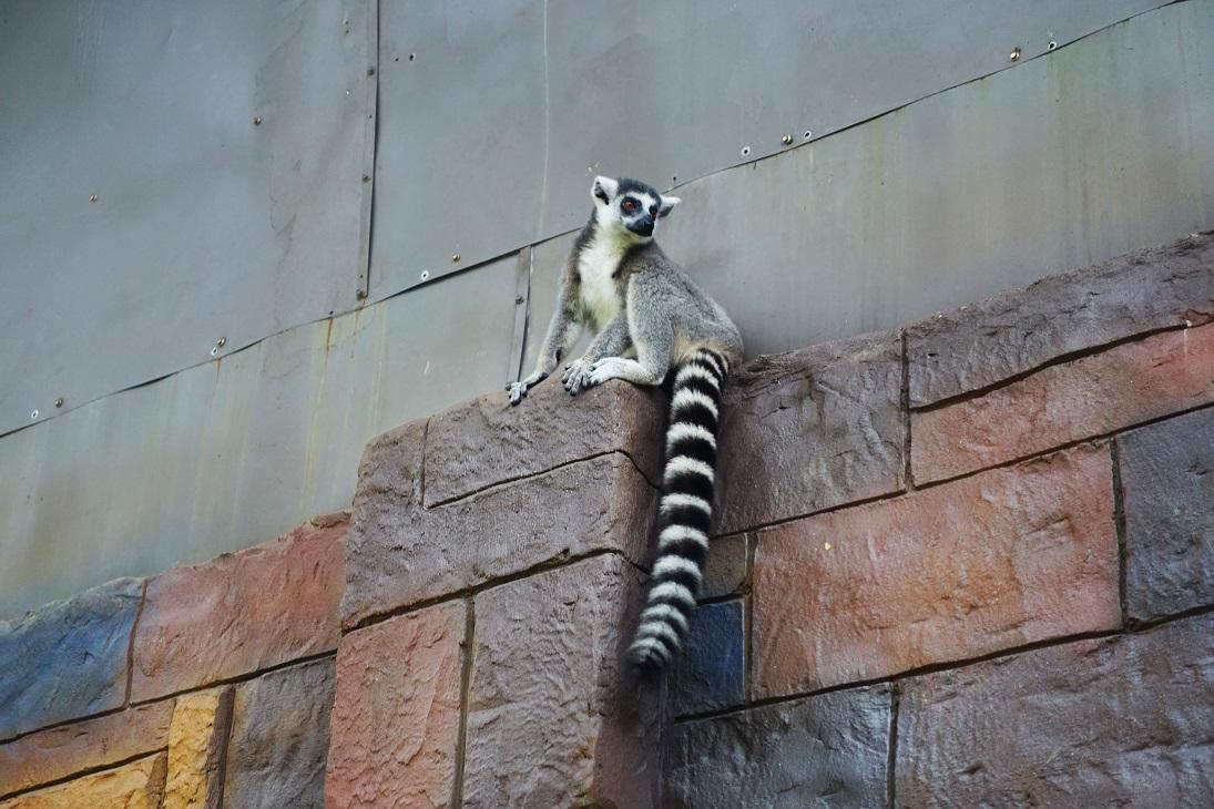 ▲珍珠野生動物園中,看得到瀕臨絕種的萌萌狐猴。(圖/shutterstock.com)