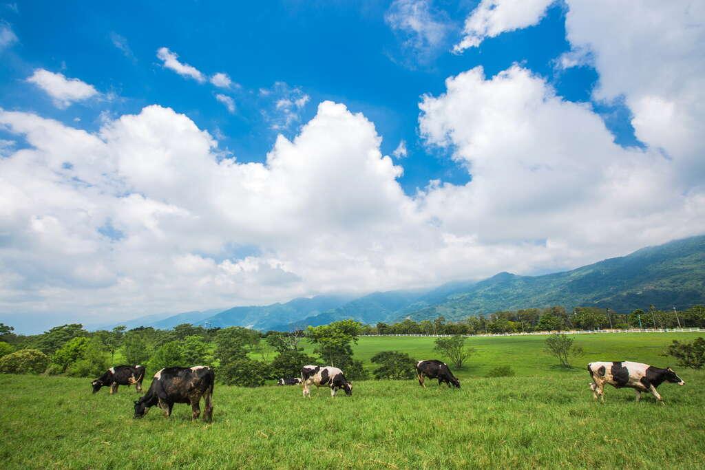 初鹿牧場總面積約72公頃,看得到成群的乳牛在廣闊草原上悠閒漫步。圖/花東縱谷國家風景區