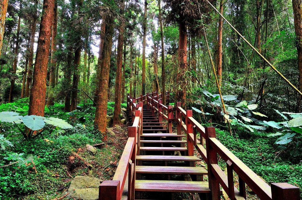 木棧道兩側直挺杉木夾道,直衝天際,輕鬆飽覽迷人自然風光。圖/阿里山國家風景區