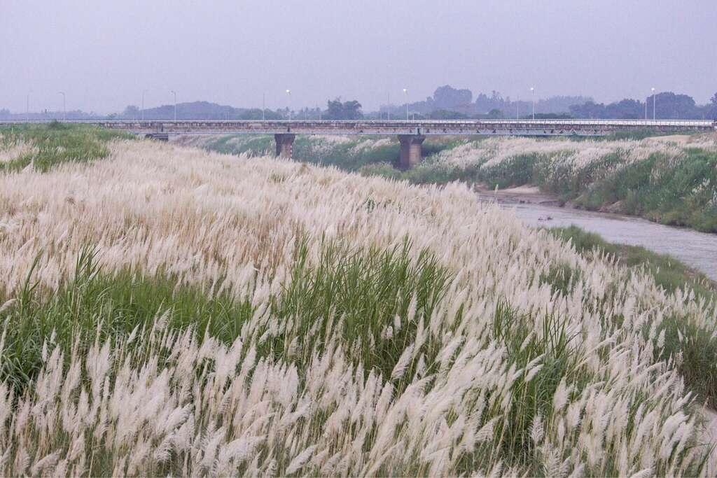 人氣居高不下的十月雪-甜根子草,在曾文溪、八掌溪畔等地隨風搖曳,猶如滾滾白浪。圖/台南旅遊網