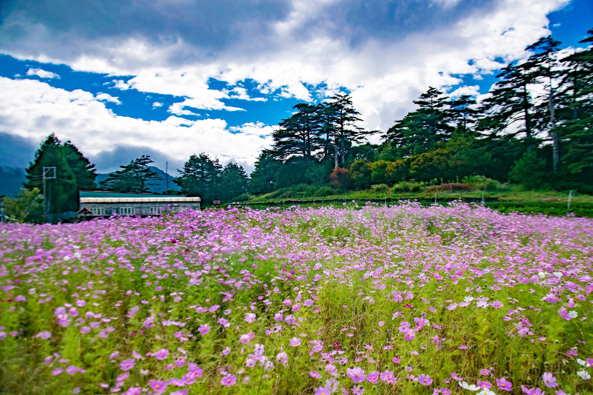 福壽山農場每年9月中旬波斯菊花海粉嫩優美,猶如闖入粉紅仙境。圖/福壽山農場臉書粉絲專頁