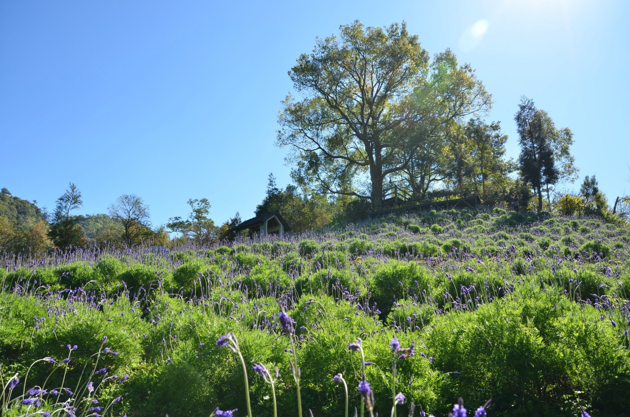 在秋高氣爽的10月,到薰衣草森林欣賞為小山丘染上夢幻藍紫色的千屈菜與薰衣草。圖/薰衣草森林臉書粉絲專頁