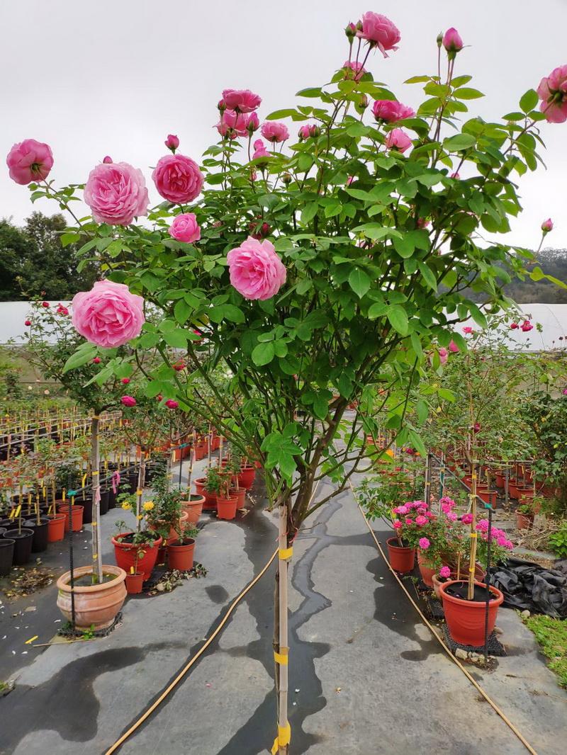 圖/樹型玫瑰