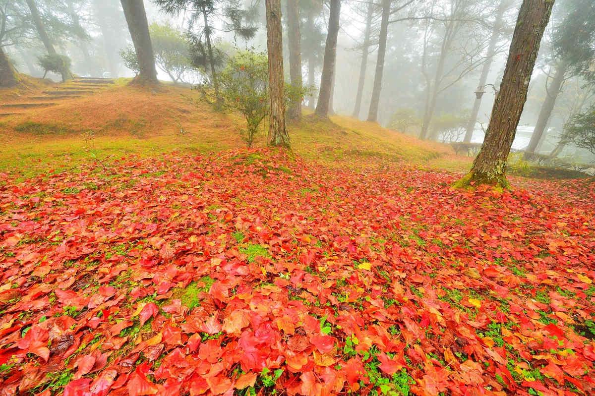 阿里山植物園紅色地毯(圖片來源:林務局阿里山林業鐵路及文化資產管理處 黃源明提供)