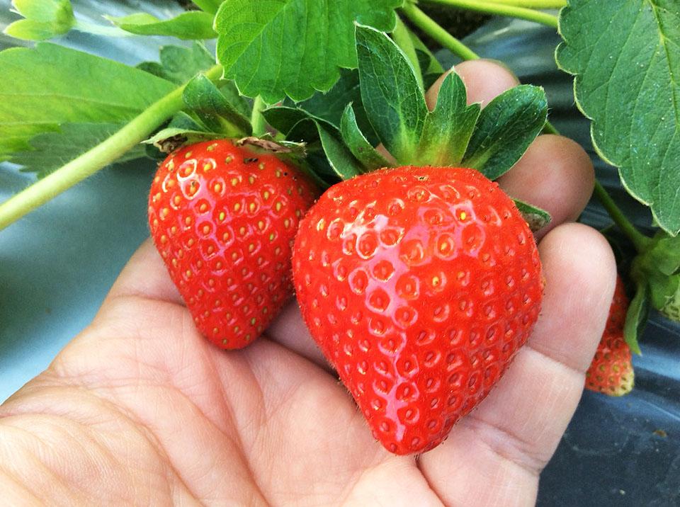 9家草莓園祭出平日打9折的活動,平日不用人擠人,還能採到又大又美的好吃草莓。圖/大湖旅遊網