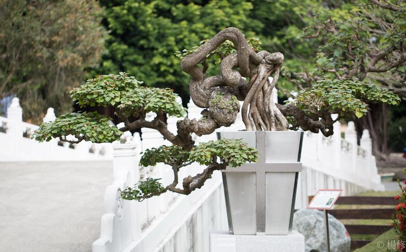 圖/建國花市現場展出許多價值不斐的大型真柏庭園樹。