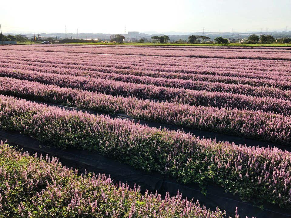 唯美綻紫的仙草花田(圖片來源:楊梅休閒農業區-2019桃園仙草花節FB)