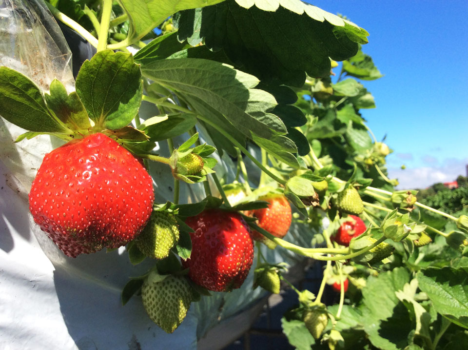 由於今年屬於暖冬,加上陽光充足,讓草莓提早轉紅。圖/大湖旅遊網