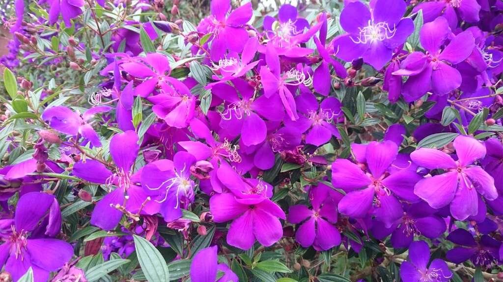 楠西-梅峰古道紫牡丹(圖片來源:台南市政府觀光旅遊局)