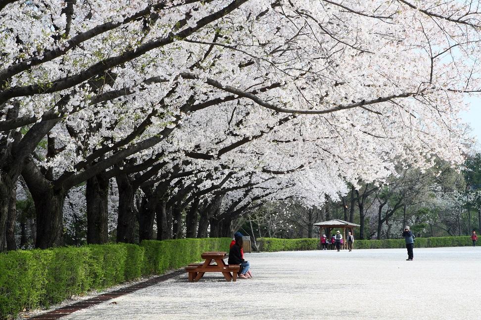 ▲首爾大公園春櫻爛漫(圖/韓國觀光公社)
