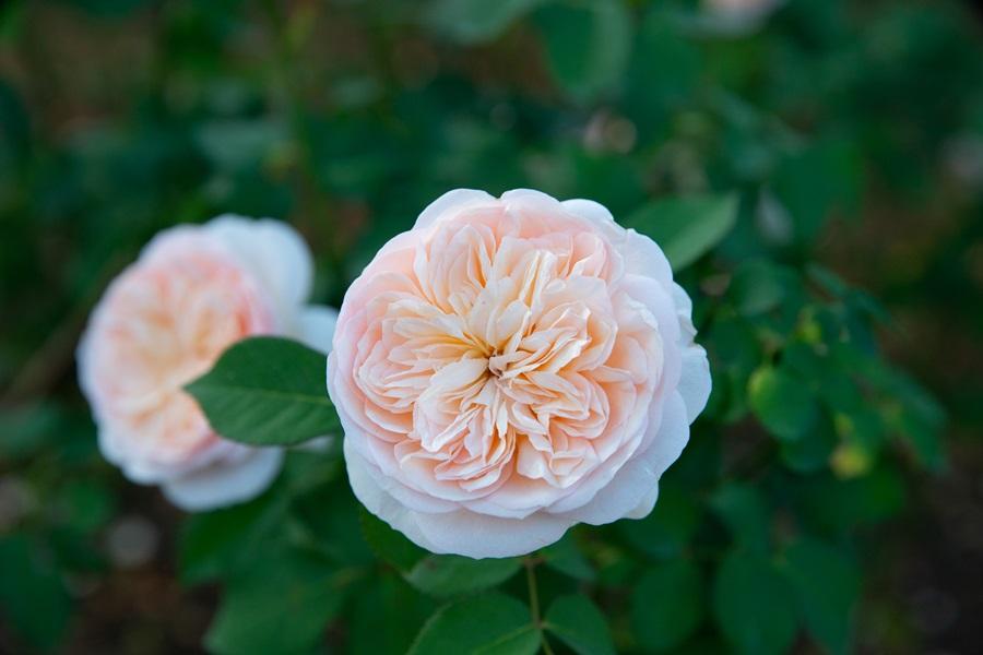 Juliet茱麗葉玫瑰。攝影/李文欽