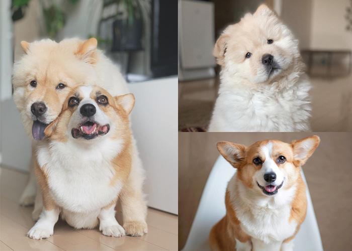 讓我們熱烈歡迎療癒度爆表的狗界超級組合柯基Crumpet和鬆獅Butter~(撒花)Crumpet和Butter的主人是一對居住在東京的同志情侶
