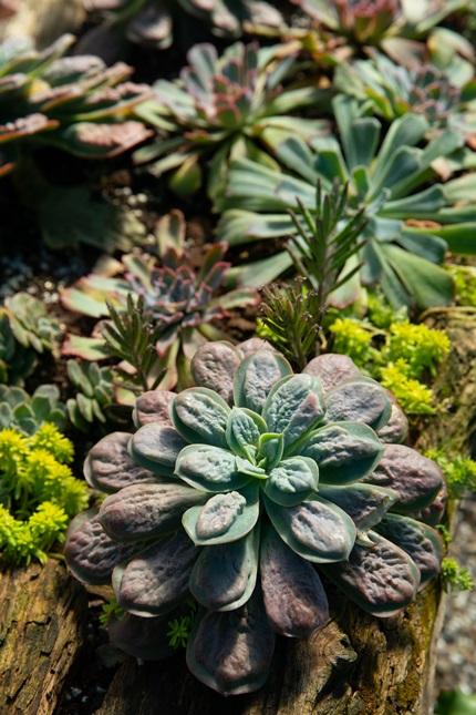 水滴多肉植物。攝影/李文欽