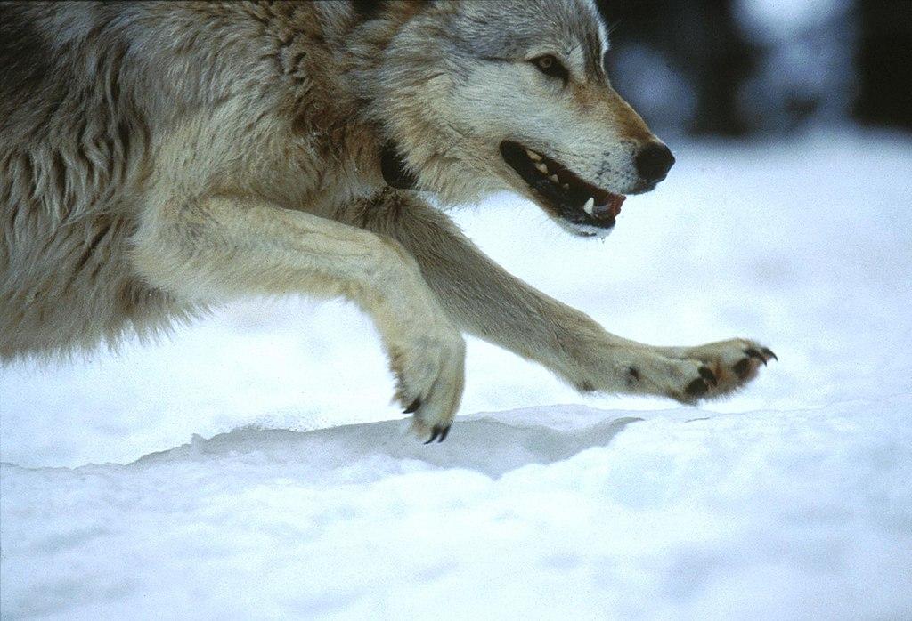 狼 (Photo by NPGallery, 圖片來源npgallery.nps.gov/AssetDetail/0c070a89-0ad7-48be-8be7-2f848786816f)