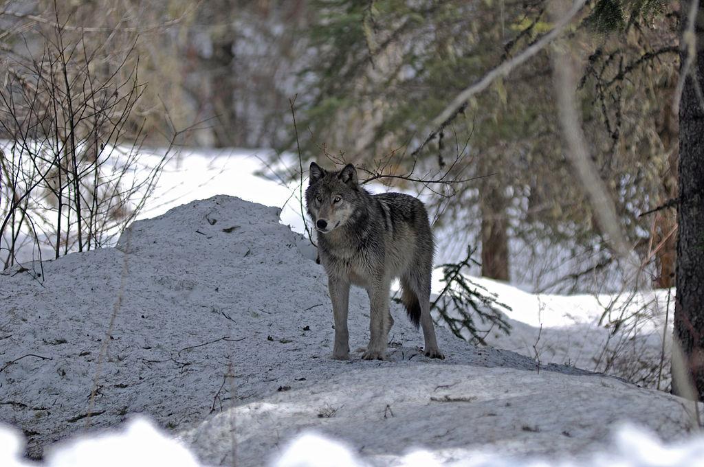 狼 (Photo by GlacierNPS, License: CC BY 2.0, 圖片來源www.flickr.com/photos/glaciernps/7070913345)