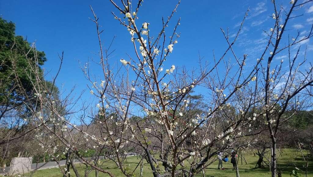 角板山公園內遍植松、柏、梅、竹,自12月底梅花便換上雪白新裝。圖/桃園觀光導覽網