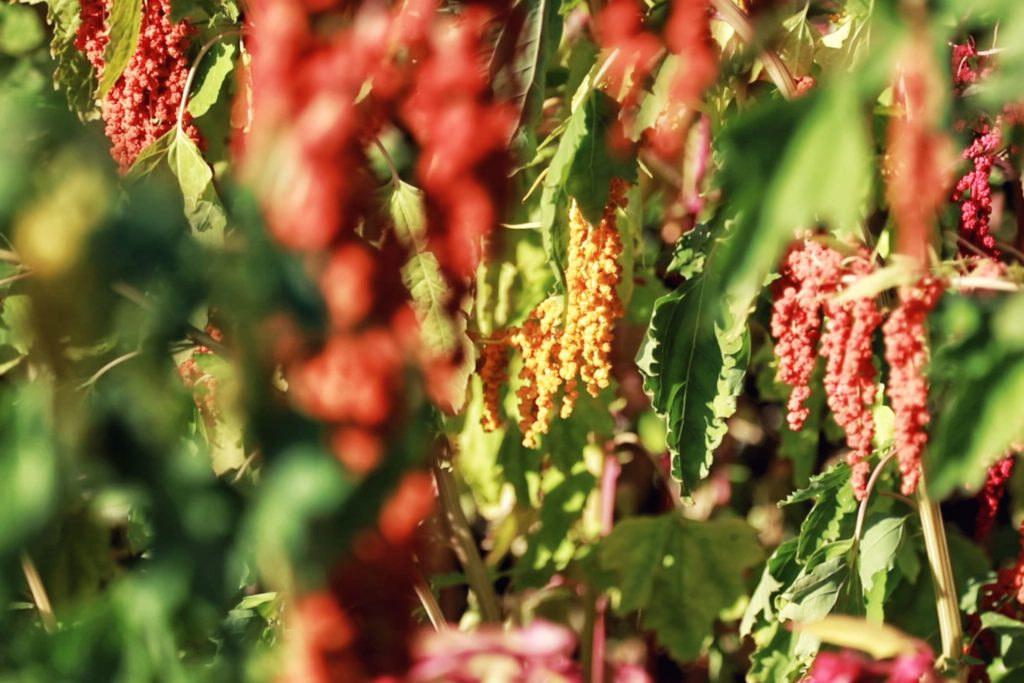 台東紅藜季(圖片來源:萬物糧倉大地慶典網站)