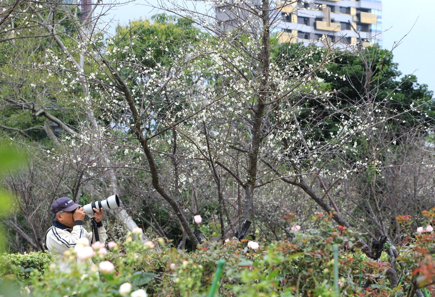 士林官邸玫瑰園內的梅花熱情盛開,駐足梅花小徑,讓人感到格外應景。圖/士林官邸旅客臉書粉絲專頁