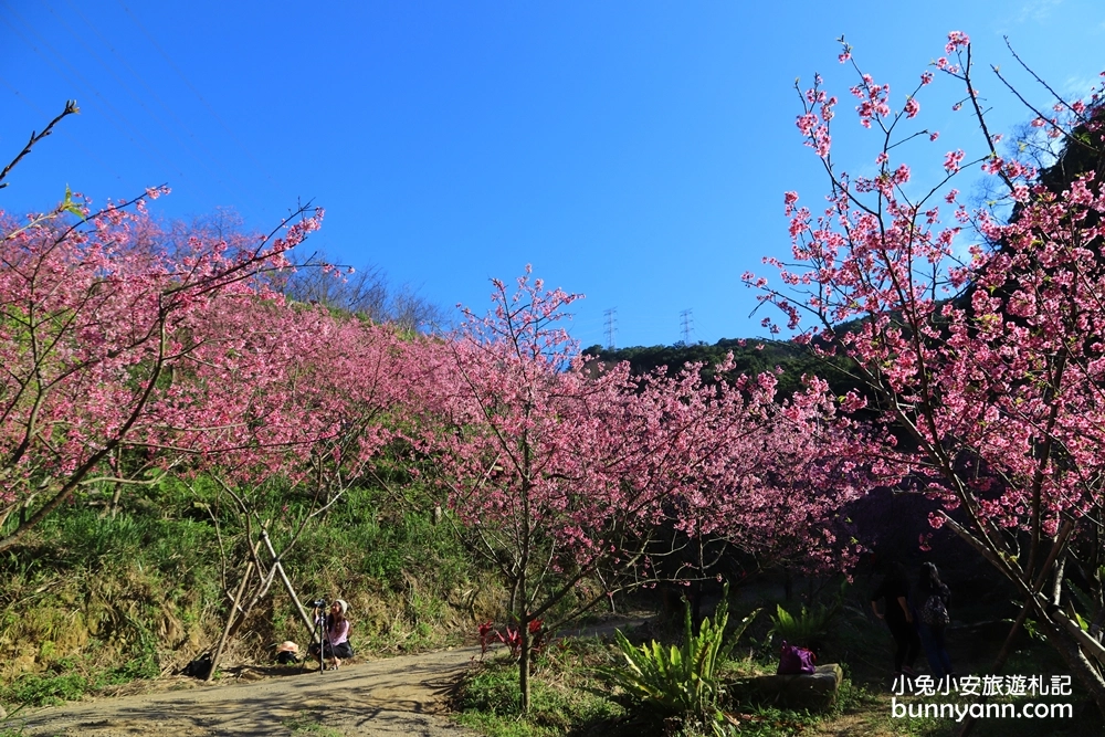 三峽大熊櫻花林