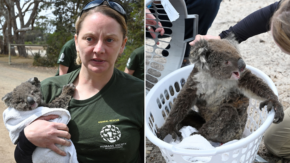 A koala from Kangaroo island rescued with the help of Humane Society International. Pictured left being carried by a rescuer and on the right in a washing basket.