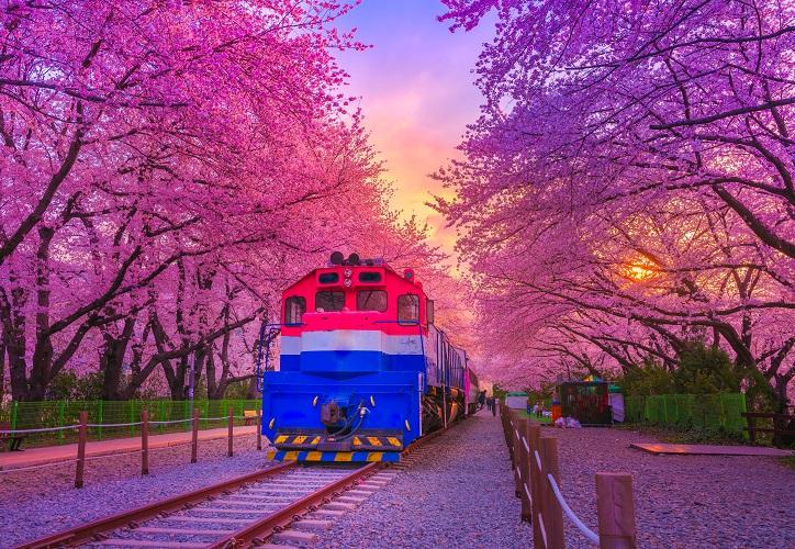 鎮海慶和車站櫻花路將能拍到櫻花、火車同框的畫面。(圖/shutterstock.com)