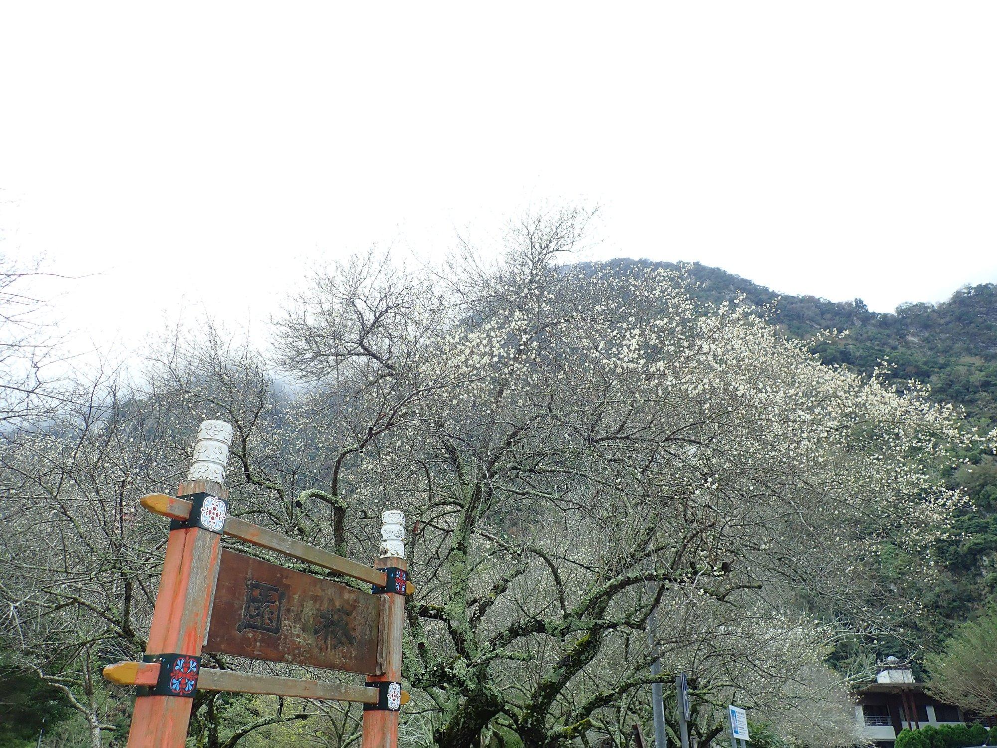 天祥梅園滿園枝枒點綴白花,與峽谷、斷崖相互映襯,散發高雅氣息。圖/太魯閣國家公園臉書粉絲專頁