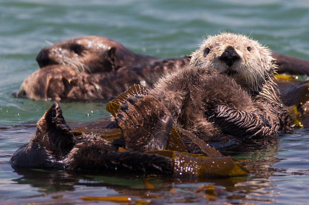 海獺 (Photo by Mike Baird from Morro Bay, USA, License: CC BY 2.0, 圖片來源www.flickr.com/photos/mikebaird/9168550173)