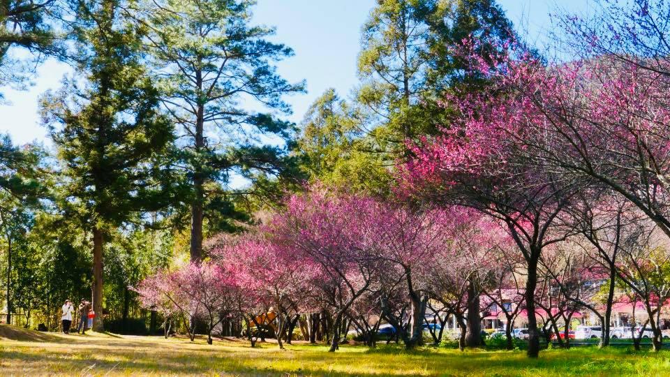 北中南各地都能看到綻放的白、粉色花朵,為自然風光增添色彩與亮點。圖/武陵農場臉書粉絲專頁