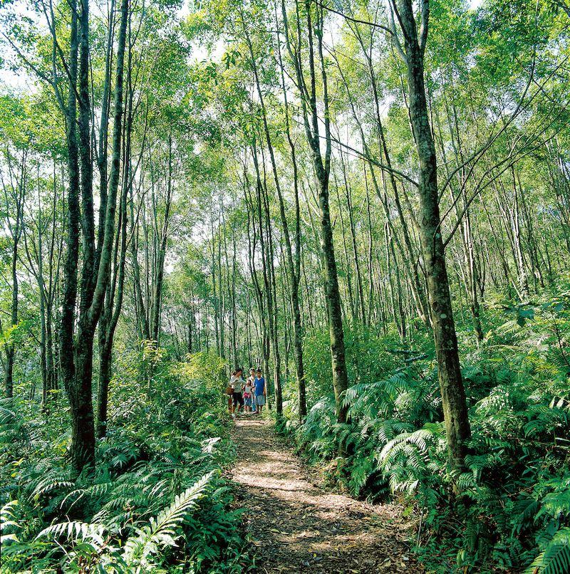 拳頭姆步道全長1.3公里,周邊為烏心石及肖楠造林,還有生機盎然的蕨類植物。圖/山林悠游網